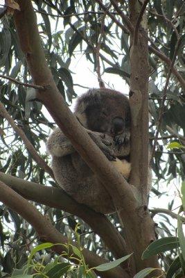 Koala at The Koala Walk