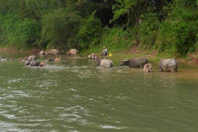 Waterbuffels in de Li Jiang rivier