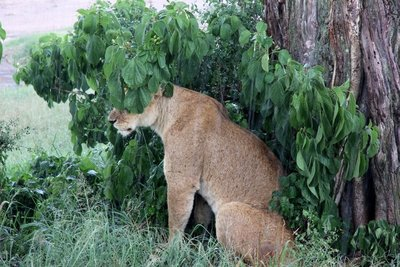Lioness_in_the_rain.jpg