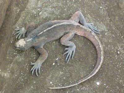 """marine iguana"""