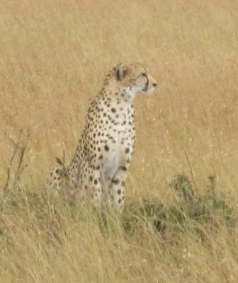 02292012 4 Cheetah in Masai Mara