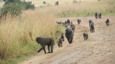03022012 1 Troop of baboons in Kenya