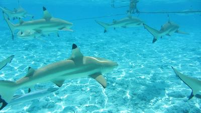 Borabora_shark_3.png