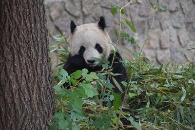 Bamboo eating Panda