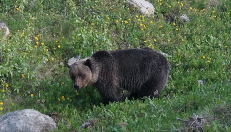 First grizzly