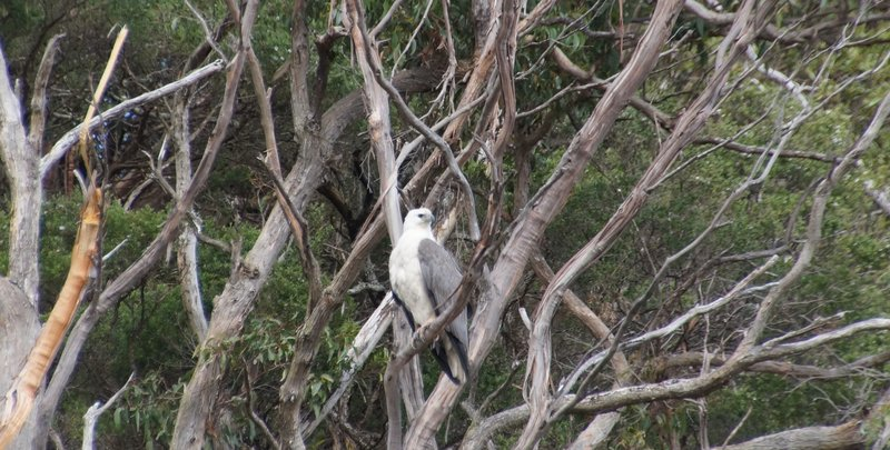 White breasted sea eagle high up in tree