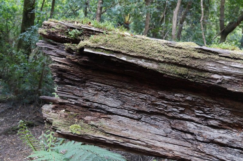 The Tarkine - hardwoods are very slow to rot - may take hundreds of years
