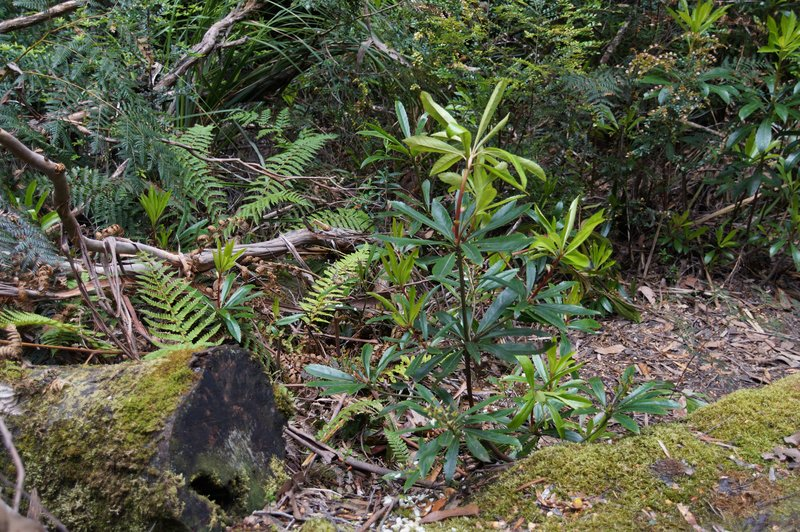 The Tarkine - rainforest ferns Arthur River