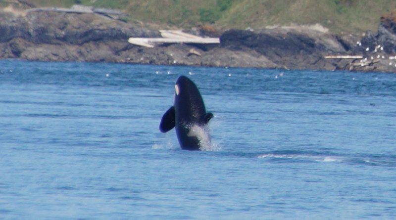 Killer Whale-Polaris, 20 year old female from J Pod