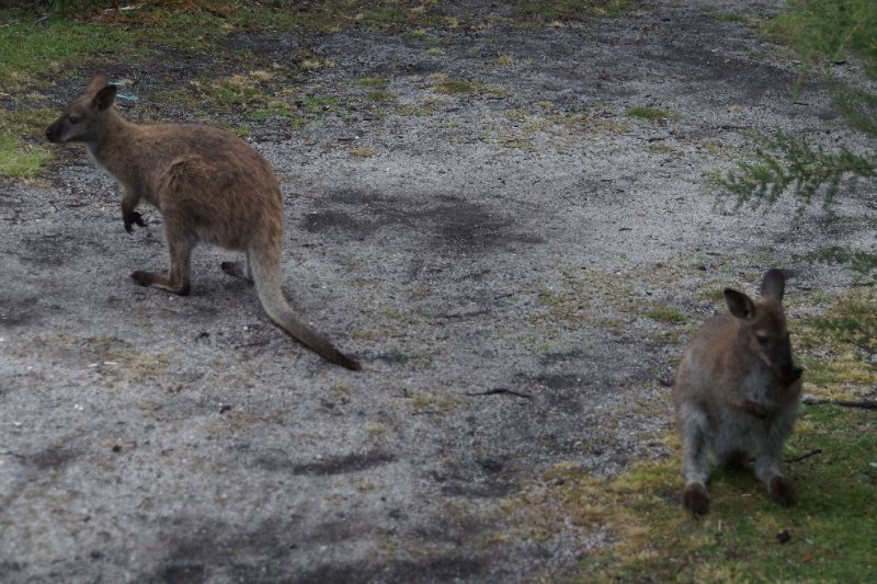 Bennetts wallabies at our campsite at Friendly Beaches, Freycinet National Park