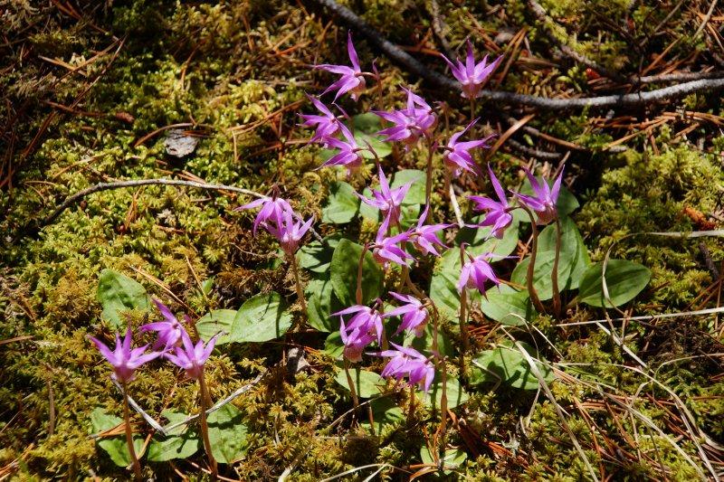 Calypso Orchids, Johnson Lake