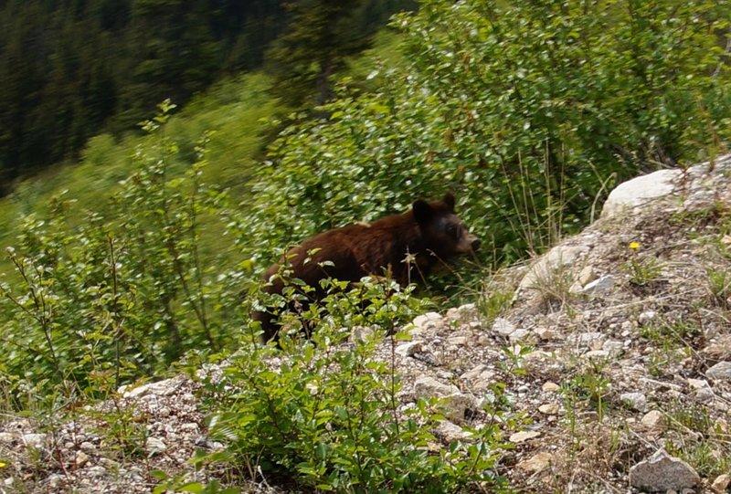 Bear taken from White Pass and Yukon rail