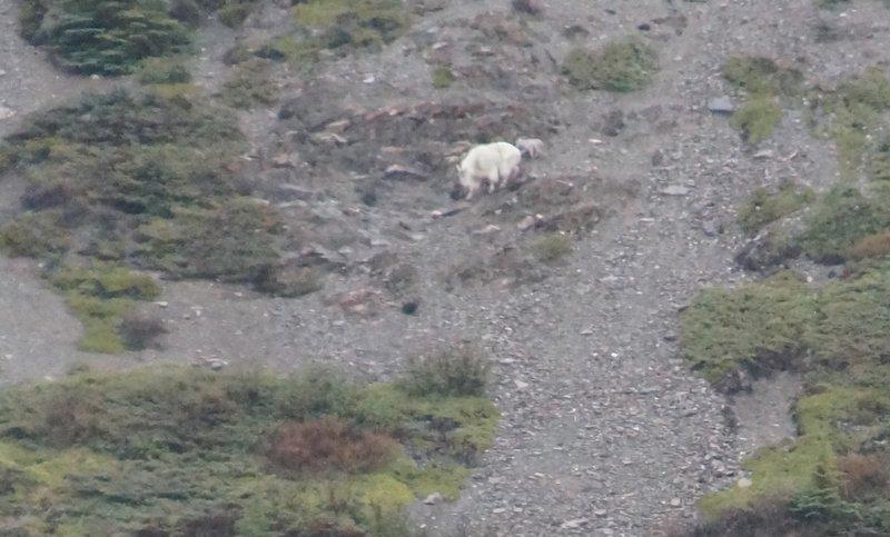 Big Horn Sheep with lamb