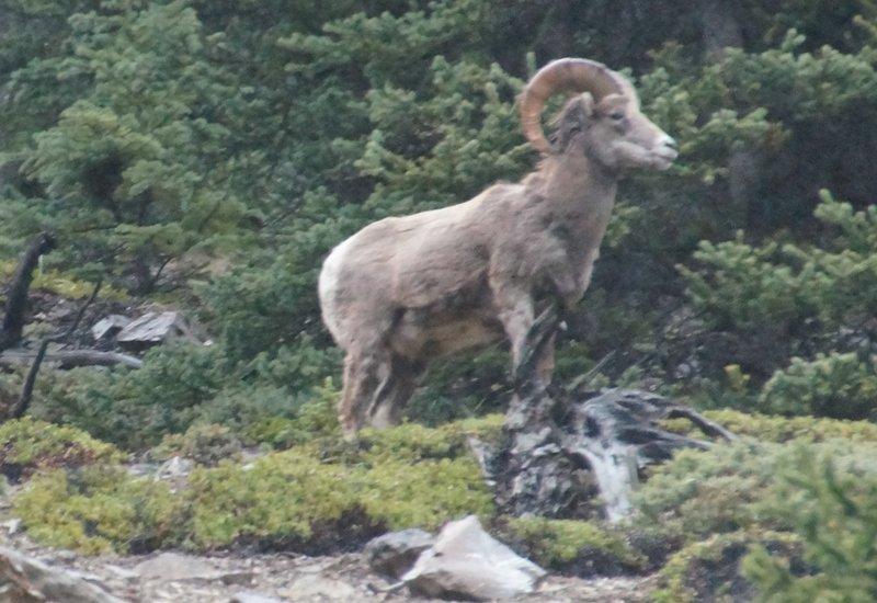 Big Horn Ram on hillside