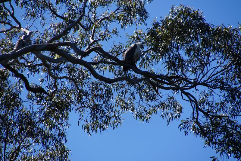 Eastern Osprey in tree on the Huon River