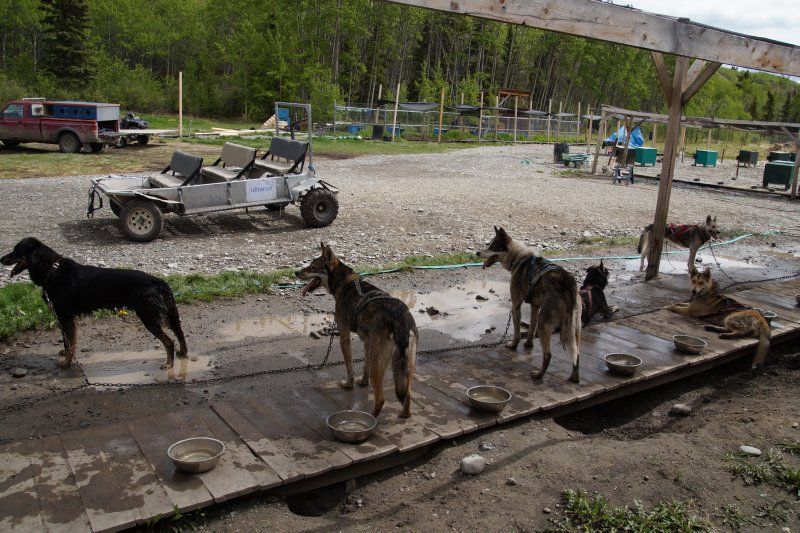 Huskies at Caribou Crossing