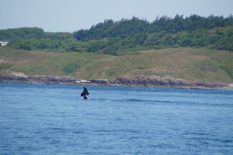 Killer Whale - Polaris 20 year old female