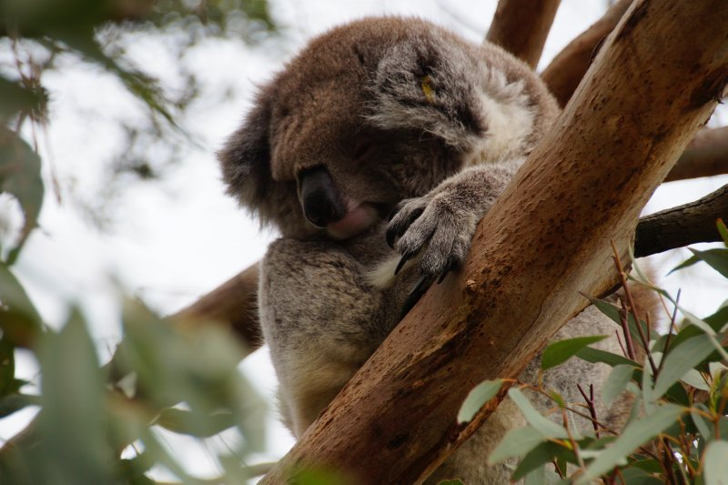 Koala at the Australian Koala Conservation Centre (6)