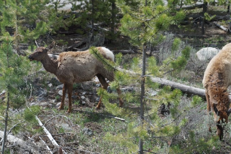 National Park - Madison to West yellowstone - elk 1