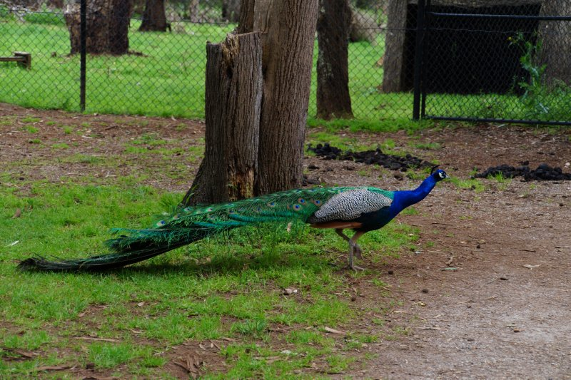 Peacock at Samuel Amess House at Churchill Island Heritage Farm