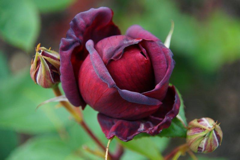 Rose Garden at The Butchart Gardens