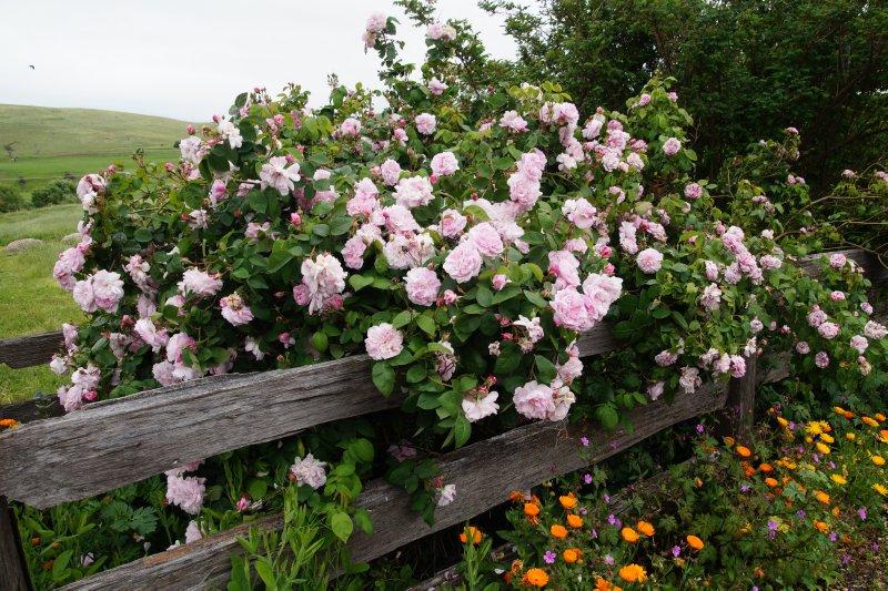 Roses in Hamilton