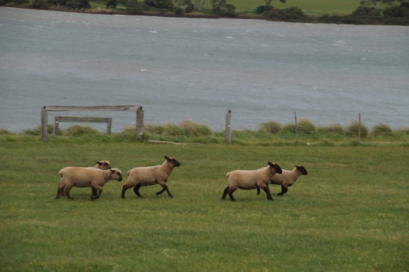 Sheep at Churchill Island Heritage Farm