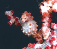 Pigmi seahorse