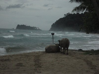 Romantic cows in lonely beach
