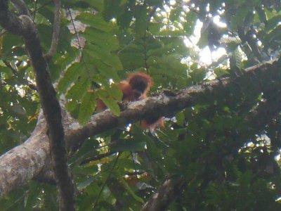 Baby oranguntan