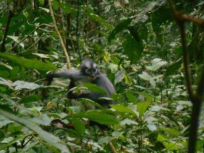Thomasleaf monkey
