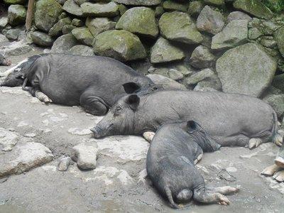 Sleepy Pigs