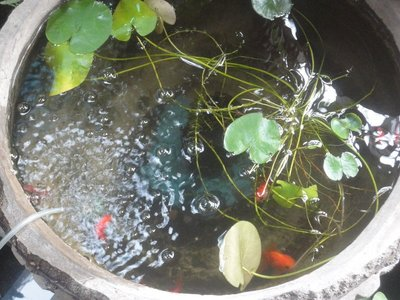 Fishes in a flower pot!?