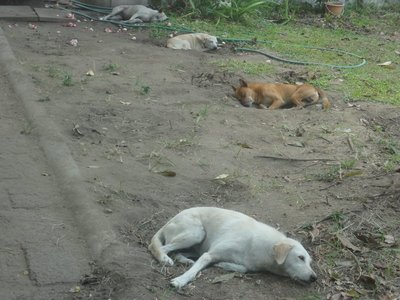 Lot of stray dogs in thailand