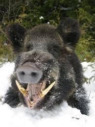 boar2.jpg
