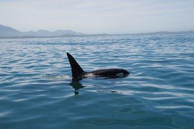 Nage avec les dauphins, Kaikoura