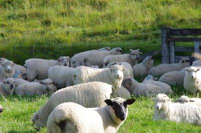 Moutons néo-zelandais