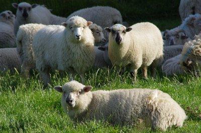 Moutons néo-zélandais