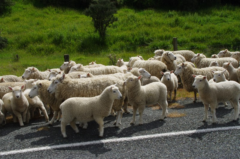 Moutons sur la route du retour