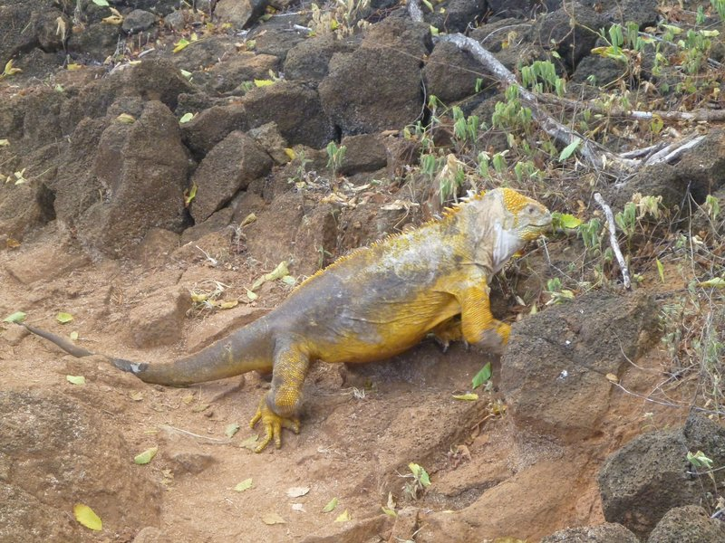 Iguana Impasse