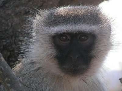 Velvet monkey in the kruger Park