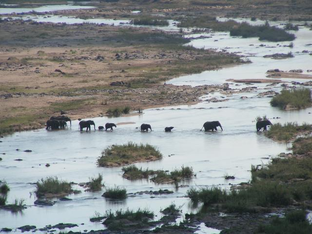 Herd of elephants cross the Letaba river in Kruger National Park