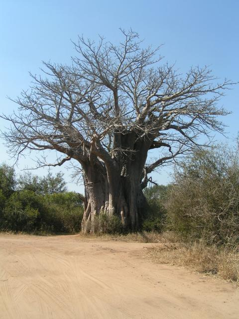 Baobab tree in the Kruger National park