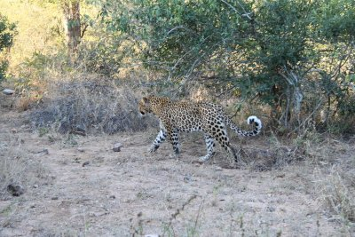 The leopard that walked by our car in Kruger. I must have scanned at least 1000 trees to no avail before this guy decided to come and find us on the bitumen