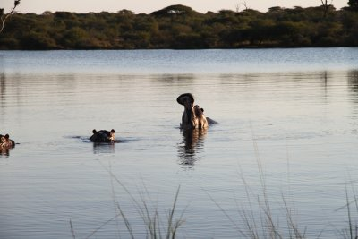 Hungry Hippos at Kruger