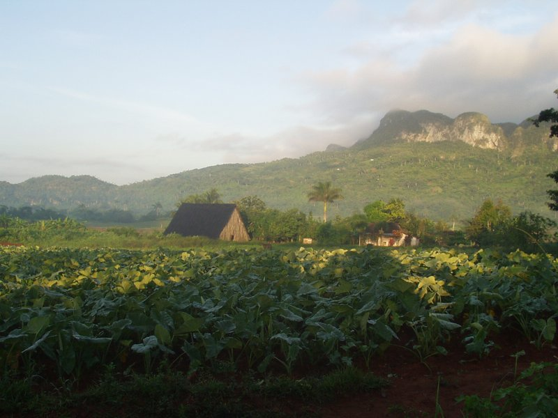 Tobacco crop in Vinales