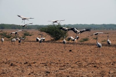 Seasonal migration, Wild Ass Sanctuary, Gujarat