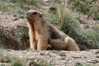Marmot, Tash Rabat