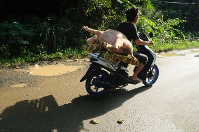 Transporting a live pig, near Rantepao