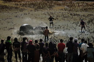 Water buffalo fights are part of the entertainment at a funeral